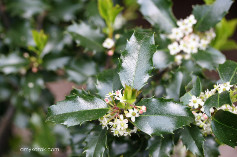 Holly Blossoms